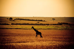 Giraffe σκιαγραφία Στοκ φωτογραφίες με δικαίωμα ελεύθερης χρήσης