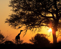 Giraffe σκιαγραφιών ηλιοβασιλέματος που τρώει από το δέντρο Στοκ Εικόνες