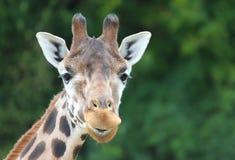 Giraffe στενή επάνω εξέταση τη κάμερα Πράσινη ανασκόπηση Στοκ φωτογραφίες με δικαίωμα ελεύθερης χρήσης