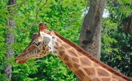 Giraffe στενός επάνω λαιμών Στοκ Φωτογραφία