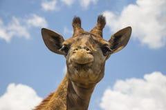 Giraffe στενός επάνω ενάντια στο μπλε ουρανό Στοκ εικόνα με δικαίωμα ελεύθερης χρήσης