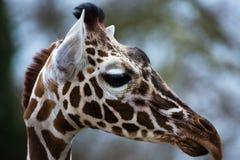 Giraffe στενός επάνω πορτρέτου Στοκ φωτογραφία με δικαίωμα ελεύθερης χρήσης