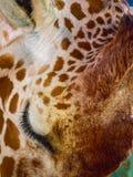 Giraffe στενός επάνω προσώπου Στοκ Φωτογραφίες