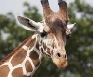 Giraffe στενός επάνω προσώπου Στοκ φωτογραφία με δικαίωμα ελεύθερης χρήσης