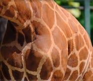 Giraffe στενός επάνω σωμάτων Στοκ Εικόνα