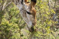 Giraffe στενός επάνω της βοσκής Στοκ Εικόνα