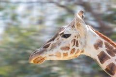 Giraffe στενός επάνω, τρέχοντας στο δάσος Στοκ φωτογραφίες με δικαίωμα ελεύθερης χρήσης
