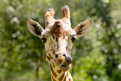 Giraffe στενός επάνω Στοκ Εικόνες