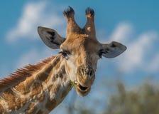 Giraffe στενός κλάδος επάνω μασήματος Στοκ Φωτογραφία