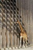 Giraffe στην αφρικανική πεδιάδα του ζωολογικού κήπου, στη Λυών Στοκ Φωτογραφία