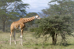 Giraffe στην επαρχία της Κένυας Στοκ φωτογραφία με δικαίωμα ελεύθερης χρήσης