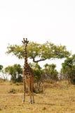 Giraffe στην ξηρά αφρικανική σαβάνα σε μια επιφυλακή για τα αρπακτικά ζώα Στοκ Εικόνες