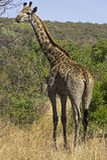 Giraffe στη Νότια Αφρική στοκ φωτογραφία με δικαίωμα ελεύθερης χρήσης
