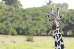 Giraffe στις άγρια περιοχές, πάρκο Villahermosa, Tabasco, Μεξικό Yumka Στοκ Εικόνες