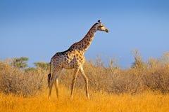 Giraffe στο δάσος θάμνων, που εξισώνει το φως, ηλιοβασίλεμα Ειδυλλιακή giraffe σκιαγραφία με το μπλε ουρανό βραδιού, Μποτσουάνα,  Στοκ Φωτογραφία