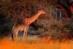 Giraffe στο δάσος με τα μεγάλα δέντρα, που εξισώνουν το φως, ηλιοβασίλεμα Ειδυλλιακή giraffe σκιαγραφία με το πορτοκαλί ηλιοβασίλ Στοκ Φωτογραφία
