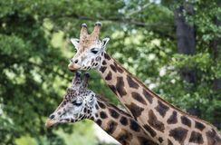 Giraffe στο ΖΩΟΛΟΓΙΚΟ ΚΉΠΟ, Πίλζεν, Δημοκρατία της Τσεχίας Στοκ Εικόνα