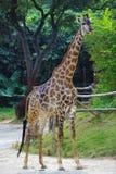 Giraffe στο ζωολογικό κήπο Στοκ Εικόνες