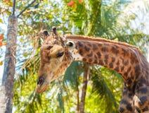 Giraffe στο ζωολογικό κήπο στο ζωολογικό κήπο dusit Στοκ Εικόνες