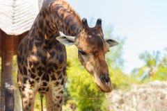 Giraffe στο ζωολογικό κήπο στο ζωολογικό κήπο dusit Στοκ Φωτογραφίες