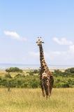 Giraffe στο Ναϊρόμπι Κένυα Στοκ εικόνα με δικαίωμα ελεύθερης χρήσης