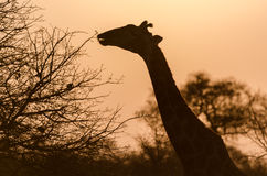 Giraffe στο πάρκο Νότια Αφρική Kruger Στοκ εικόνα με δικαίωμα ελεύθερης χρήσης