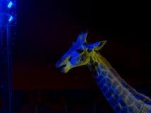Giraffe στο τσίρκο Στοκ Φωτογραφίες