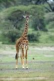 Giraffe στο φυσικό βιότοπο στο αφρικανικό φυσικό πάρκο Στοκ Εικόνα