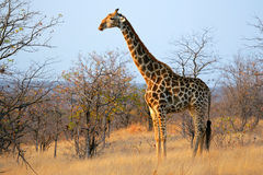 Giraffe στο φυσικό βιότοπο Στοκ Φωτογραφία