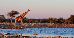 Giraffe στο waterhole Στοκ Φωτογραφία
