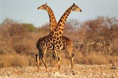 Giraffe ταύροι Στοκ φωτογραφία με δικαίωμα ελεύθερης χρήσης