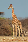 Giraffe ταύρος Στοκ φωτογραφία με δικαίωμα ελεύθερης χρήσης