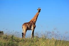 Giraffe ταύρος στοκ φωτογραφίες