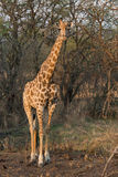 giraffe της Αφρικής νότος Στοκ φωτογραφίες με δικαίωμα ελεύθερης χρήσης