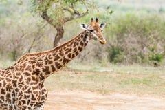 giraffe της Αφρικής νότος Στοκ Φωτογραφίες