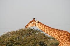 giraffe της Αφρικής νότος Στοκ εικόνα με δικαίωμα ελεύθερης χρήσης