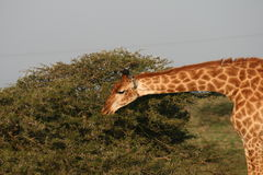 giraffe της Αφρικής νότος Στοκ φωτογραφία με δικαίωμα ελεύθερης χρήσης