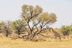 Giraffe της Καλαχάρης Στοκ εικόνες με δικαίωμα ελεύθερης χρήσης
