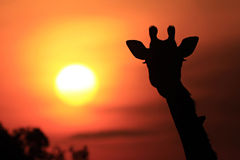 Giraffe της Mara Masai Στοκ Φωτογραφίες