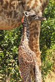 Giraffe της Mara Masai Στοκ φωτογραφία με δικαίωμα ελεύθερης χρήσης