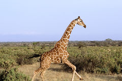 giraffe τρέξιμο Στοκ εικόνα με δικαίωμα ελεύθερης χρήσης