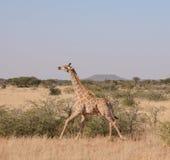 Giraffe τρέξιμο Στοκ Φωτογραφία