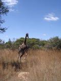 giraffe τρέξιμο Στοκ Εικόνες