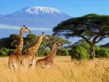Giraffe τρία σε Kilimanjaro τοποθετεί το υπόβαθρο Στοκ Εικόνες