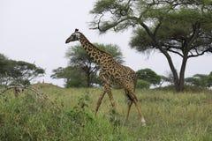 Giraffe τρεξίματος στοκ εικόνα με δικαίωμα ελεύθερης χρήσης