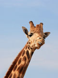 giraffe χλευασμός Στοκ Φωτογραφία