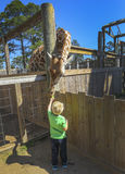 Giraffe χρόνος σίτισης Στοκ Φωτογραφίες