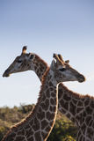 Giraffe δύο Στοκ εικόνα με δικαίωμα ελεύθερης χρήσης