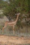 giraffe антилопы necked Стоковое Фото