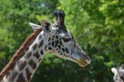 Giraffe& x27; взгляд со стороны s в одичалом Стоковые Изображения RF